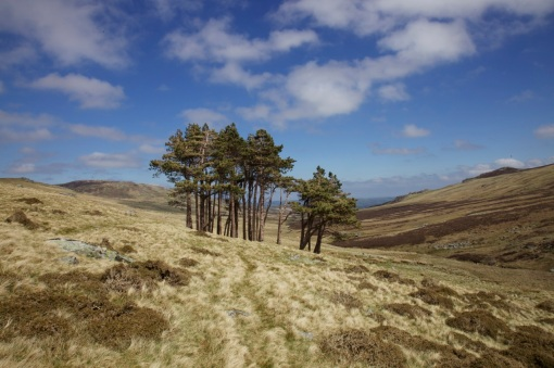 Solitary copse in the Carneddau