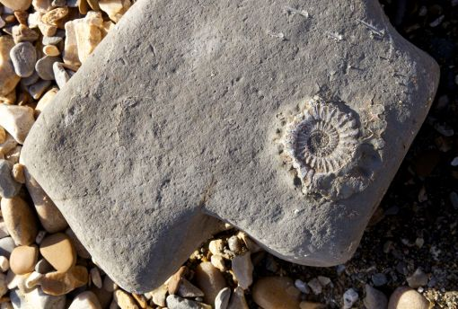 Ammonite in Limestone found near Golden Gap