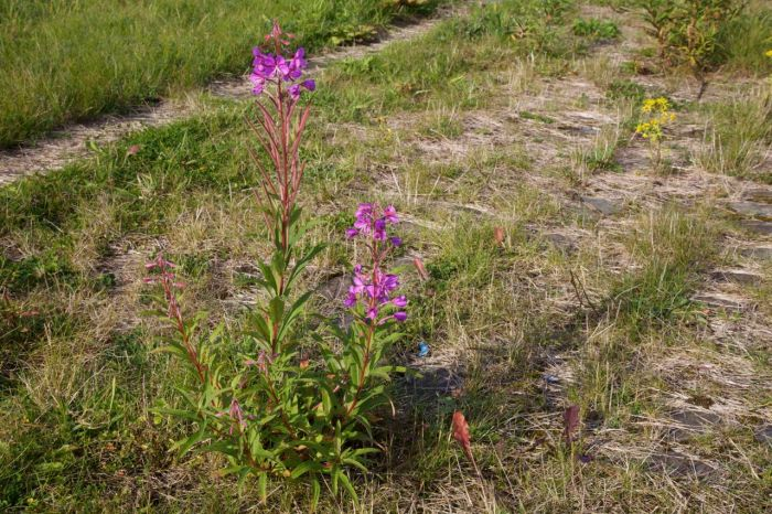 Rosebay Willowherb growing amongst the cobbles.