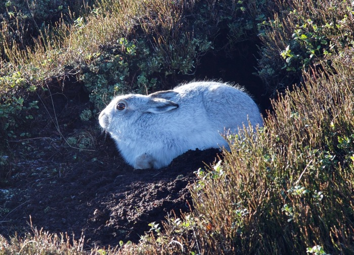 The snow hare just before it moved